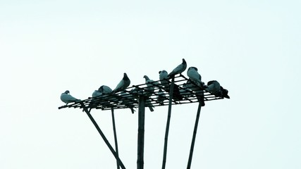 Dove Or Pigeons are on the bamboo tower