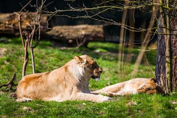 Löwenrudel