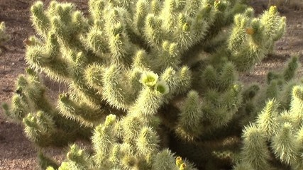 Zoom out of a cholla cactus (Cylindropuntia Bigelovii)  in bloom