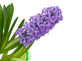 Purple spring hyacinth isolated