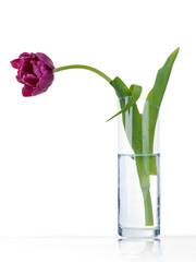 Lonely sad purple tulip in vase