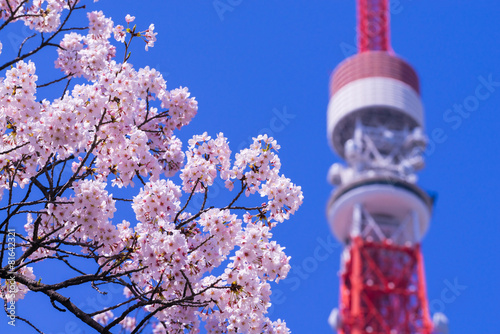 Fotobehang Kersen 東京タワーと桜