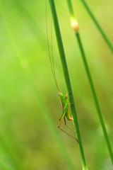 grasshopper in a green field