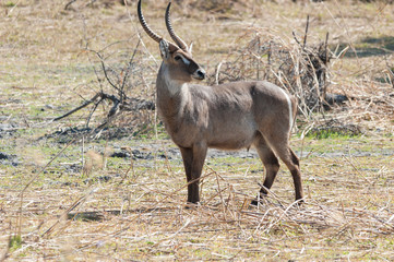 Waterbuck - Wildlife Background from Africa