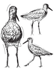 Willet Sketches