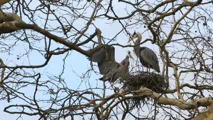 Heron Returns with Sticks for a Nest