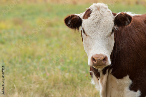 Tuinposter Koe Cow Head
