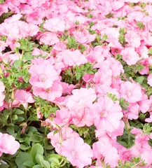 Pink Petunias in the great greenhouse