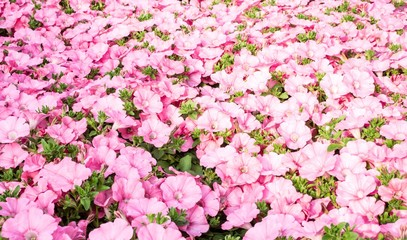 background Pink petunias in the great greenhouse