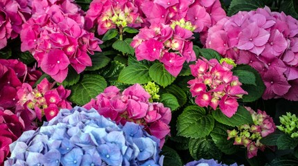 pink and cyan hortensia in greenhouse