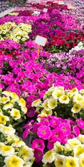 background Pink petunias or potunia in the great greenhouse