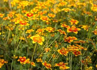 field of flowers called Bidens Ricadente in spring