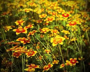 great field of flowers called Bidens in spring
