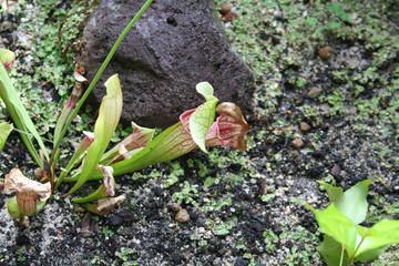 Planta Carnivora