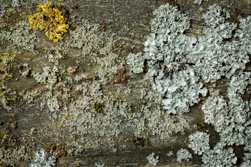 Moss and lichens on wood