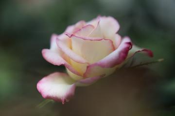 咲きこぼれるバラの花
