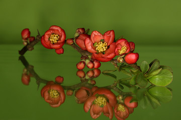 Chaenomeles japonica, Japanse sierkwee