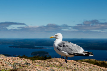 Seagull with Sea in Background