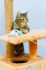 Tabby cat sits on a cat tower