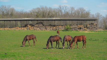 Herd of Young Horses Graze on the Farm Ranch, Animals on Pasture