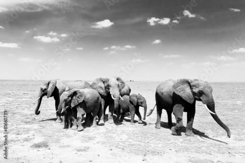 Papiers peints Bestsellers Loxodonta africana, African bush elephant.