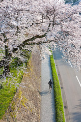 Boy cycling under the sakura tree