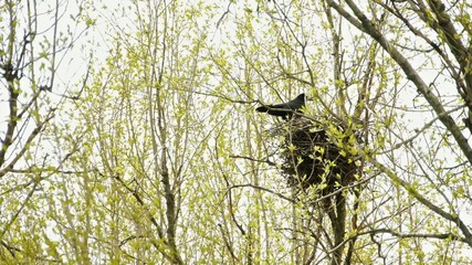 Two ravens in the nest on a tree.