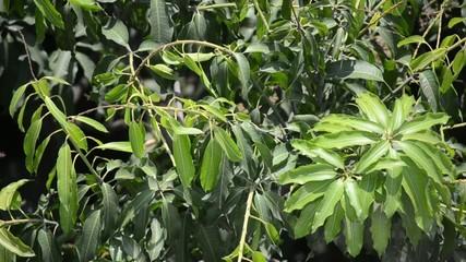 Mango tree swinging in the wind