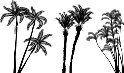 long palm trees silhouettes isolated on white