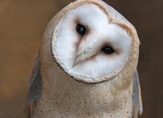Close up portrait of a barn owl (Tyto alba)