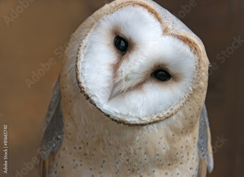 Deurstickers Uil Close up portrait of a barn owl (Tyto alba)