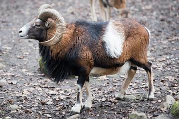 mouflon while charging