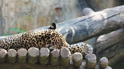 Indochinese Leopard.60 FPS.