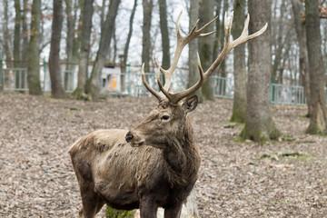 Brown carpathian deer