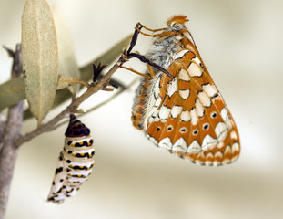 The Marsh fritillary (Euphydryas aurinia) Butterfly and cocoon