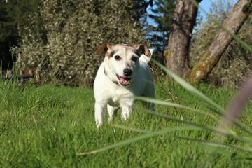 Jack Russell Terrier 05