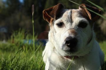 Jack Russell Terrier 04