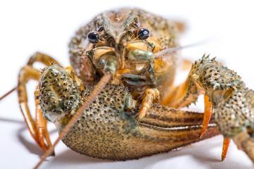 Crayfish on a white background.