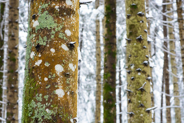 Pine trunk with moss and lichens close up