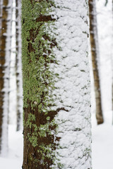 Pine trunk with moss, lichens and snow close up