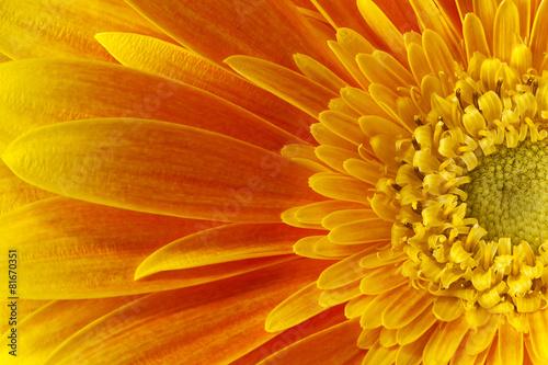 Foto op Plexiglas Gerbera gerbera flower.