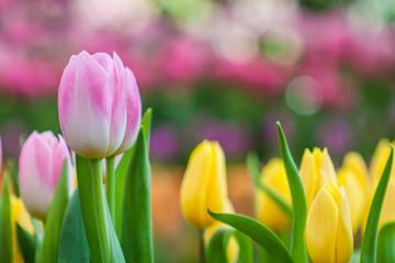 Fresh colorful tulip