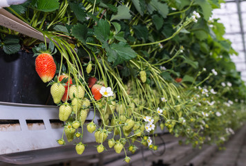 Ripe and unripe strawberries in a modern greenhouse from close