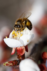 Bee collecting honey on a blossoming apricot.