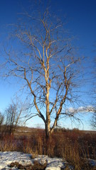 Withered willow