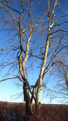 Dead withered willow
