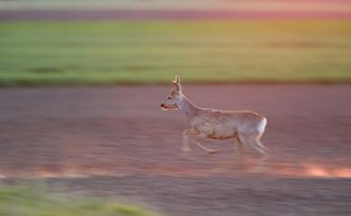 Roe buck running