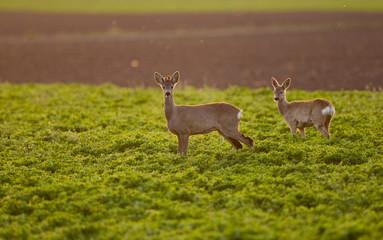Roe buck couple