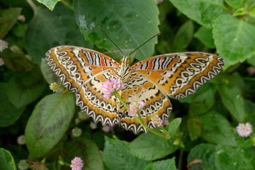 butterfly Anartia amanthea on flower in garden