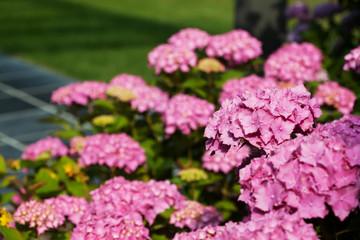 Beautiful hydrangea flowers in a garden